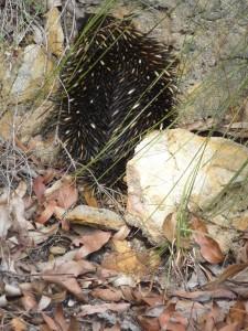 A bristling porcupine