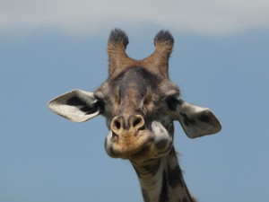 Picture of a giraffe