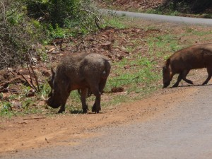 Picture of warthogs