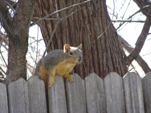 Chipmunk looking over a fence