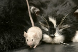Mouse sneaking by a cat
